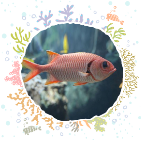 a230f7bcd17 The epaulette soldierfish are a nocturnal species that seek plankton under  the ledges of Molokini s wall. Their large eyes help them hunt for bottom  ...